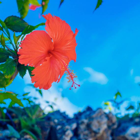 hibiscus570-570